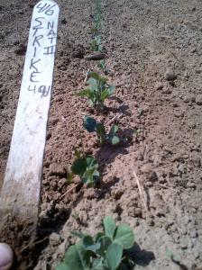 Strike peas, Natural II treatment