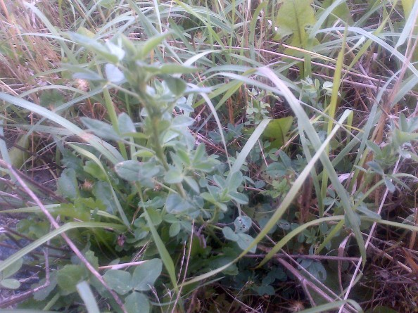 Alfalfa plants can still be found on our farm, 10 years since it was last grown.